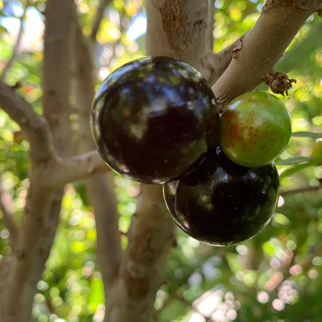 Jaboticaba, Pitanga,  Cherry of the Rio Grande, Golden Delicious Apples, Pomegranates, Peaches, & Passionfruits n Aloe & Senna blooms.....feeling the love from the land back home with my green fruiting friends.  #lovefromtheland #urbangardening #jaboticaba #surinamcherry #cherryoftheriogrande  #gardenfriends  #appreciation