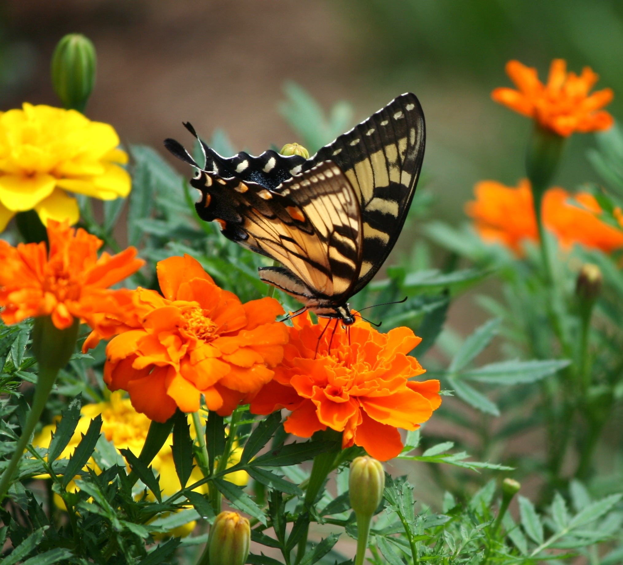old-world-swallowtail-butterfly-papilio-machaon-insect-86416.jpeg