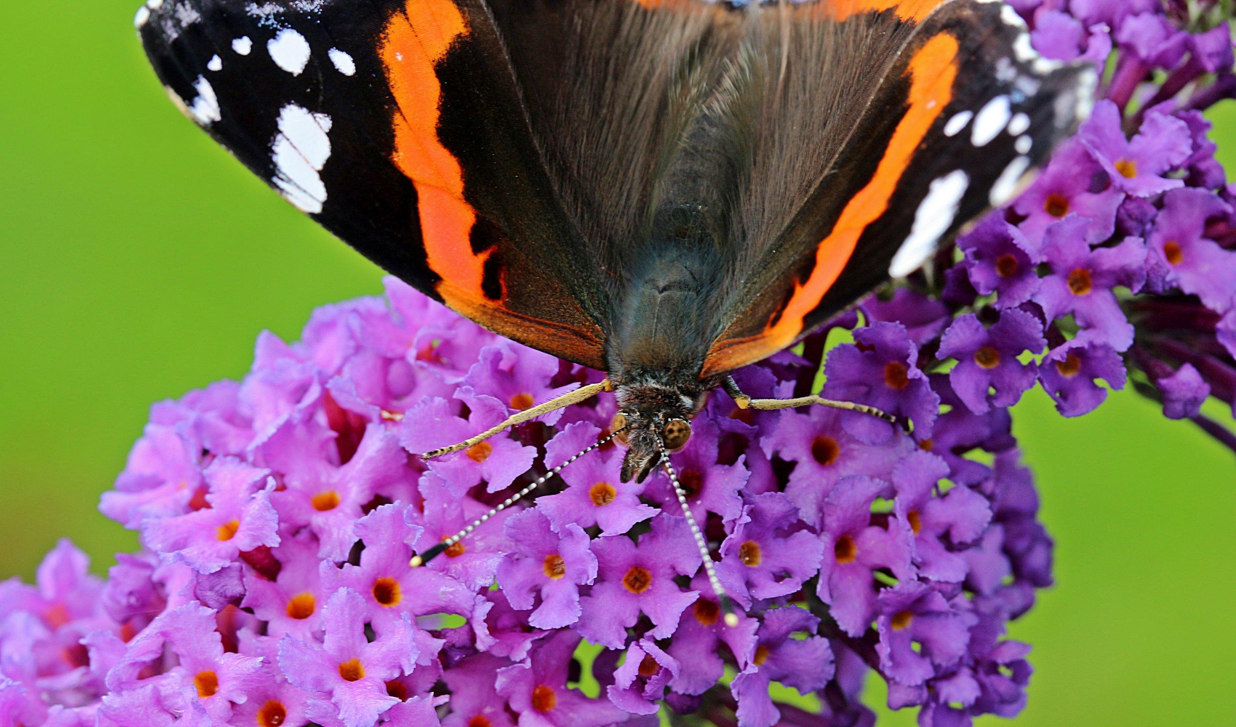admiral-vanessa-atalanta-butterfly-edelfalter-158347.jpeg
