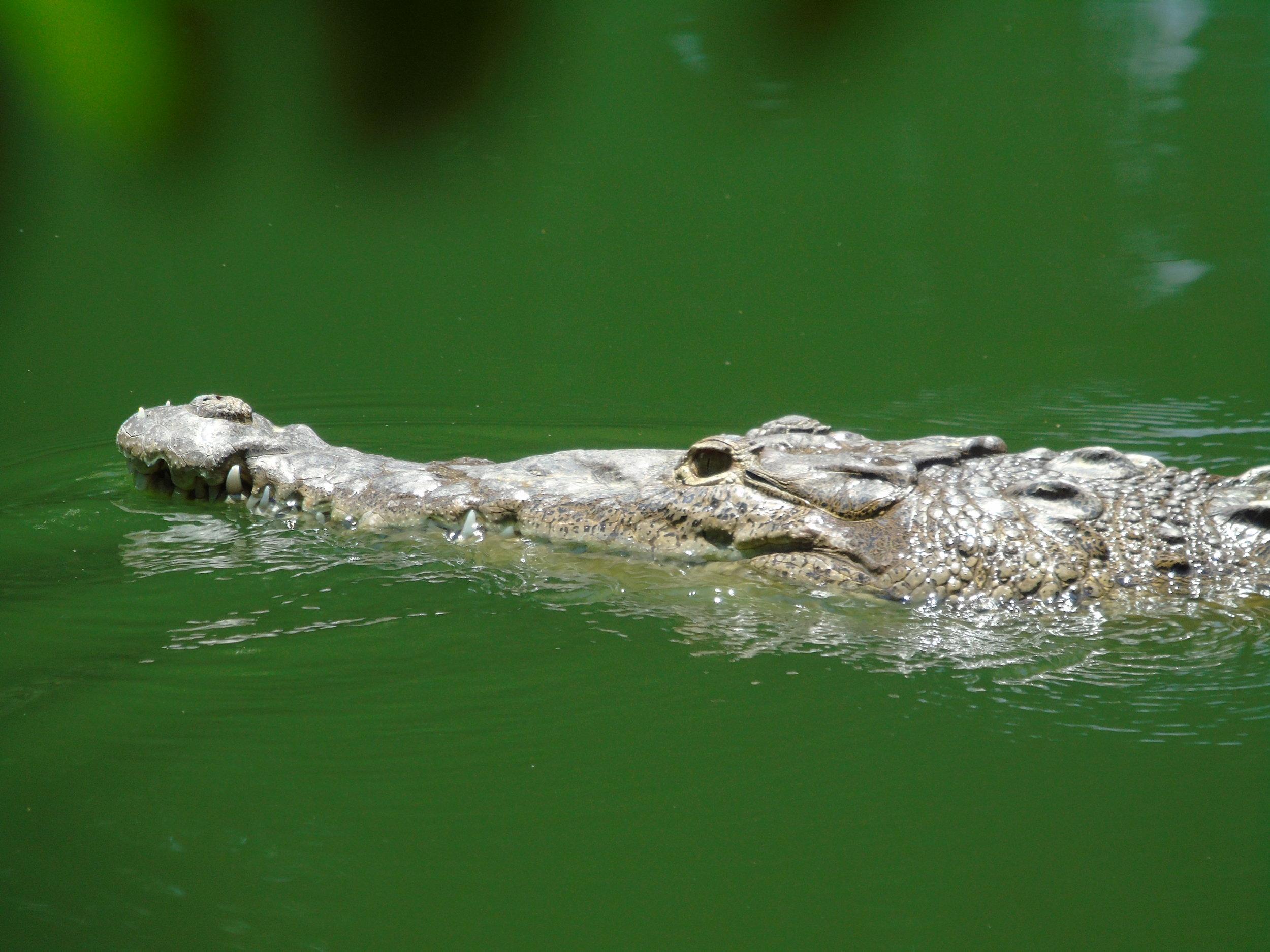 costa rica crocodile research