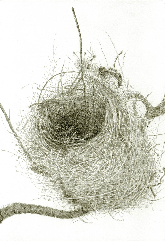 Warbler Weaving, Palma; Jeannine Cook, silverpoint