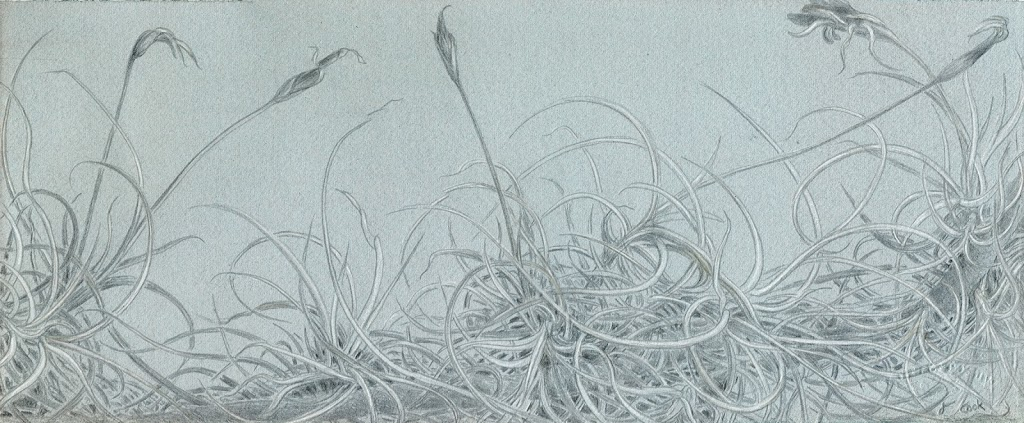 Tillandsia recurvata,  silverpoint and white gouache on tinted ground Jeannine Cook artist, Private collection