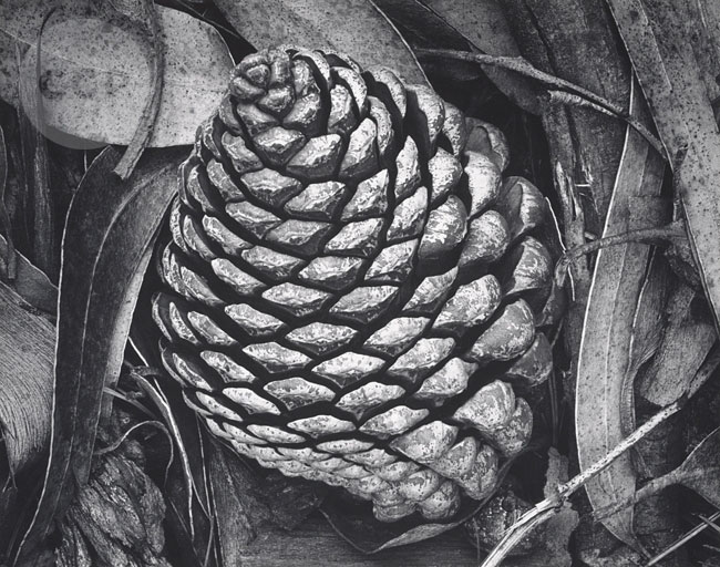 Pine Cone and Eucalyptus Leaves, San Francisco,  1932, Ansel Adams