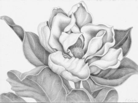 The-fragrant-Magnolia-svpt-small.jpg