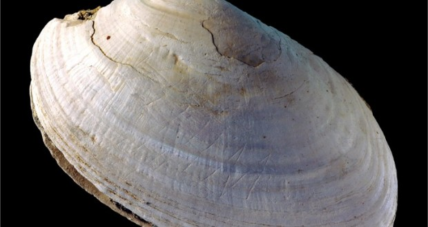 Mussel shell with zigzag patterns from Java, dated between 540,000 and 430,000 years old