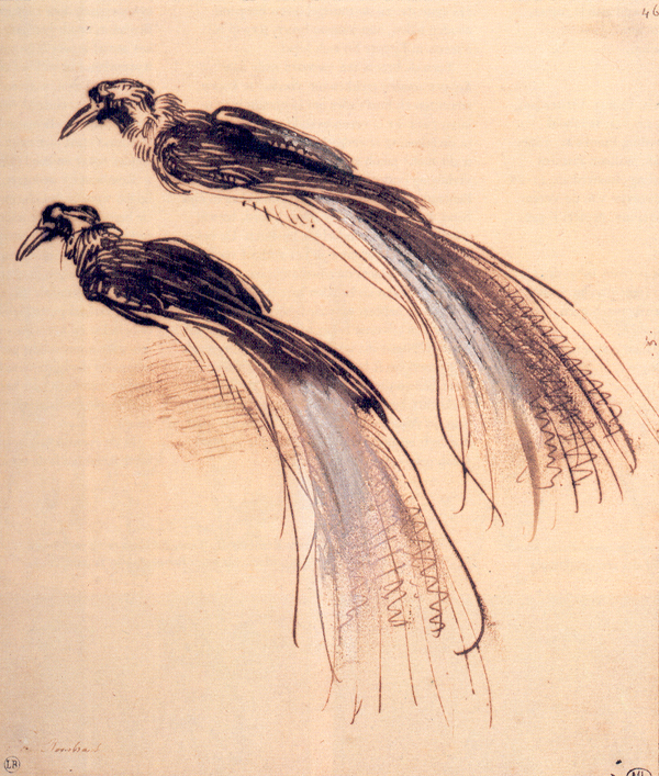 Two Studies of Bird of Paradise, Rembrandt, image courtesy of the Louvre, Paris