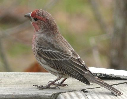 House Finch, photo courtesy of Ken Thomas
