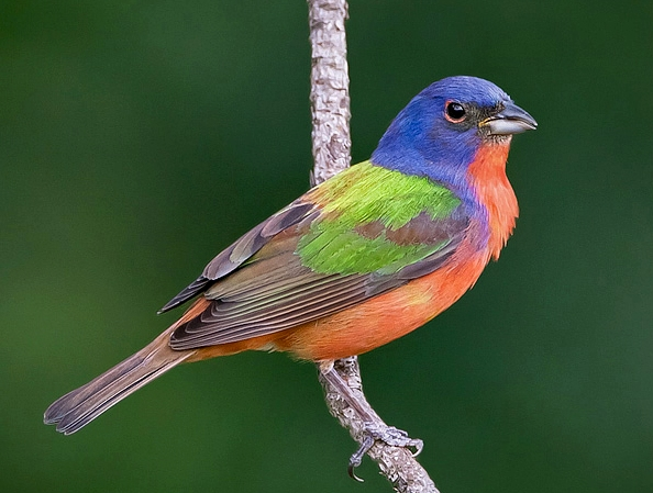 Painted Bunting, photo courtesy of Joe Kingley