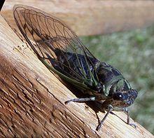 Tibicen linnei, Annual Cicada