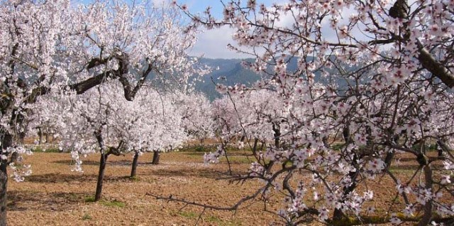 Spring in the Almond Groves of Mallorca