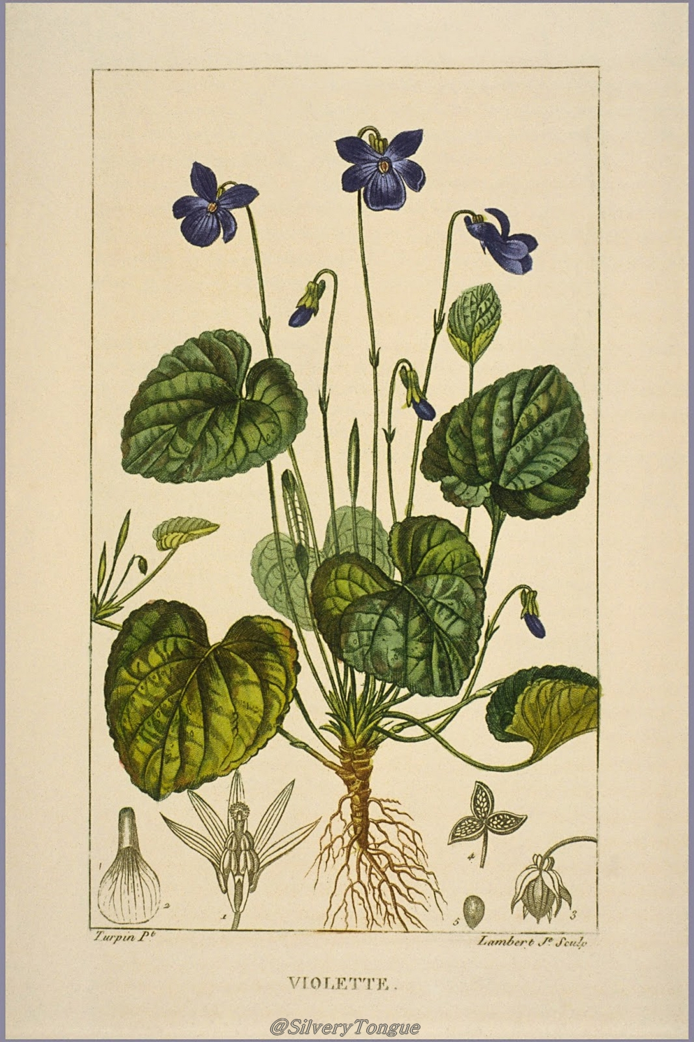 Wood Violet, Pierre Jean François Turpin, (1775-1840), (Image courtesy of Musee National d'Histoire Naturelle)
