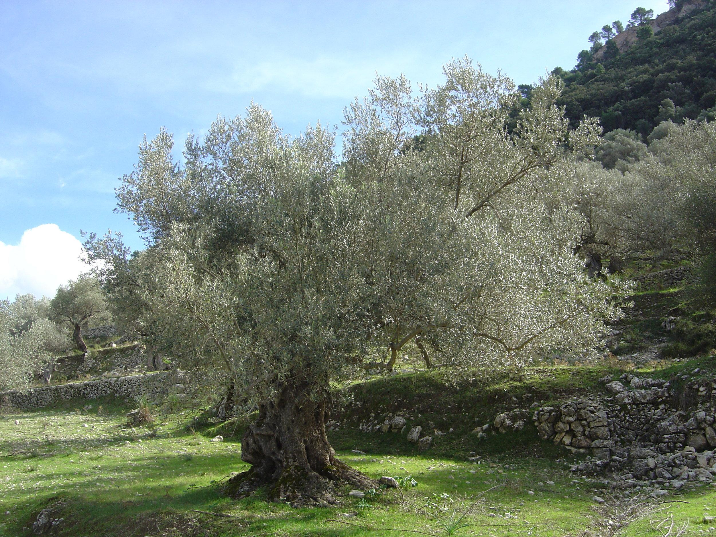 Olive Tree (Olea europaea)