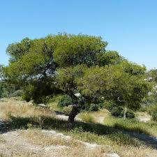 Mediterranean Pine (Pinus halepensis)