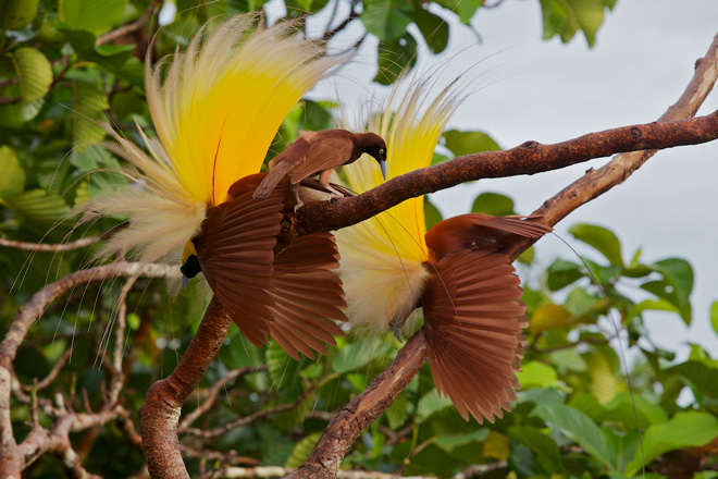 GreaterBird-of-Paradise.jpg