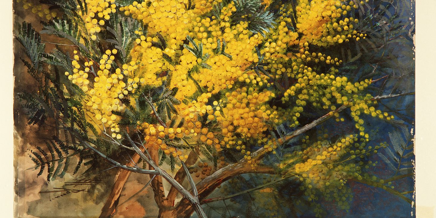 Black Wattle, gouache and watercolour, c. 1900, Marian Ellis Rowan, (Image courtesy of Museum of Applied Arts & Sciences)