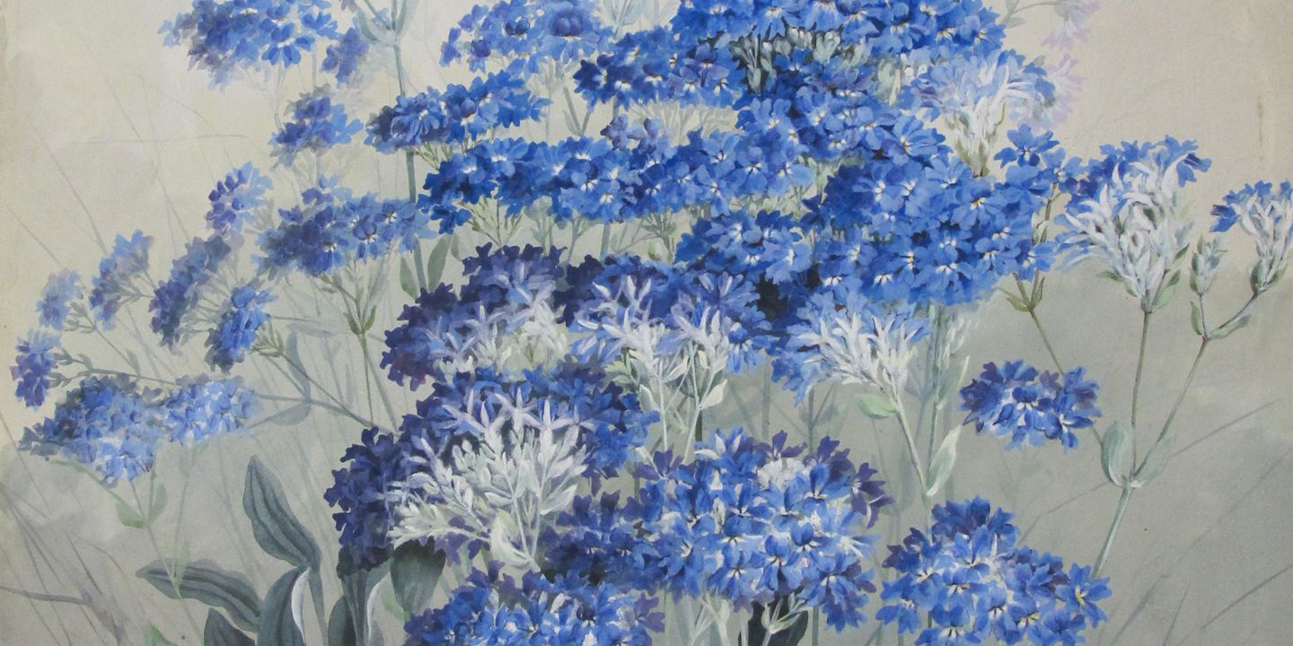 Wild Cornflowers, gouache and watercolour, c. 1900, Marian Ellis Rowan, (Image courtesy of Museum of Applied Arts & Sciences)