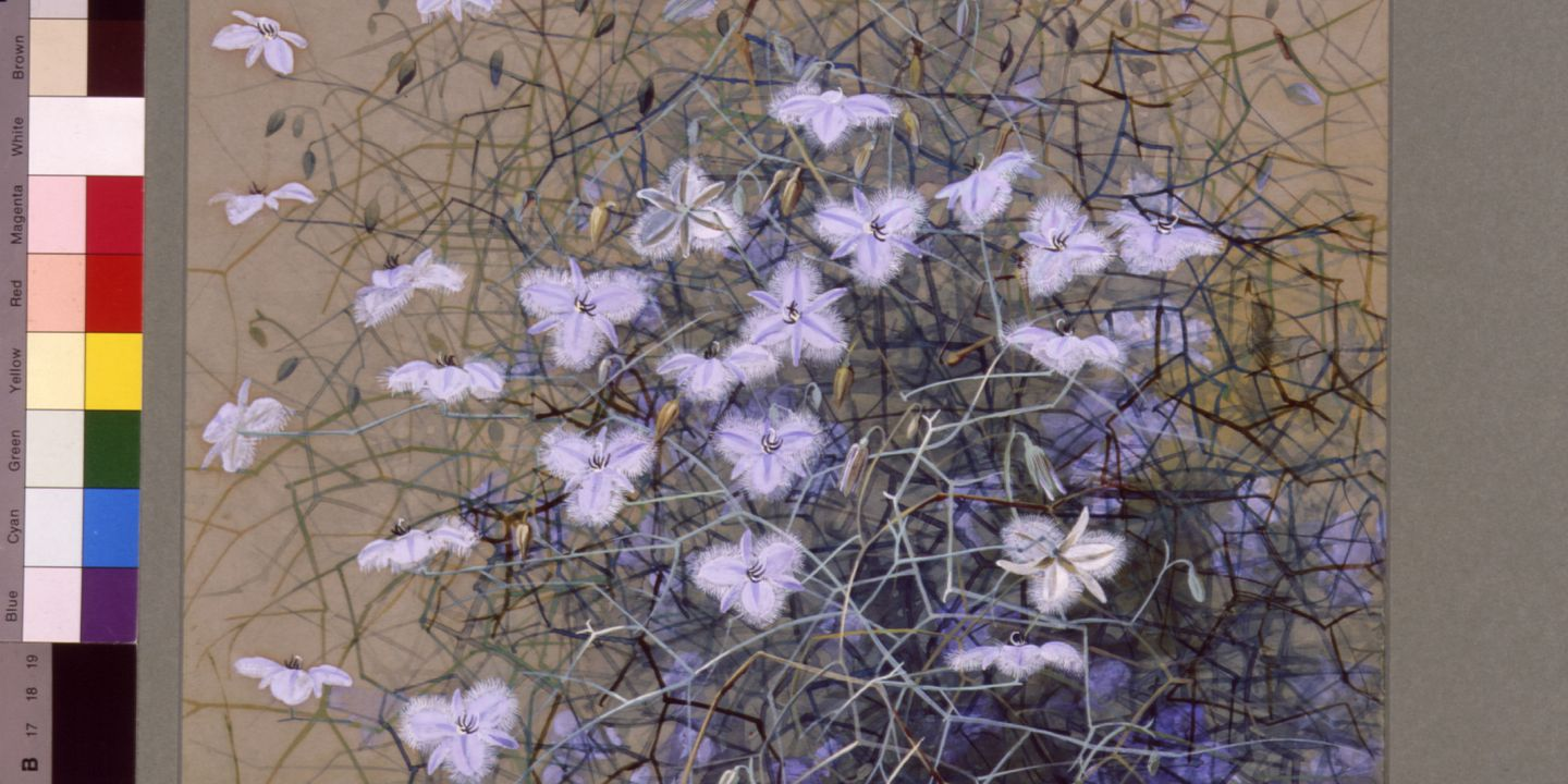 Fringed Violet, watercolour and gouache, 1900, Marian Ellis Rowan, (Image courtesy of Museum of Applied Arts & Sciences)