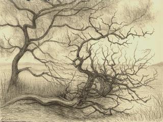 Coastal Cedars, graphite, Jeannine Cook artist