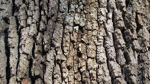 Live Oak Bark