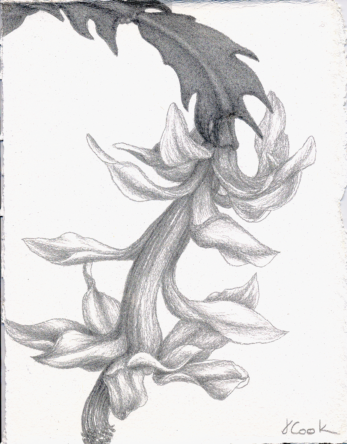 White Christmas Cactus, silverpoint, Jeannine Cook artist