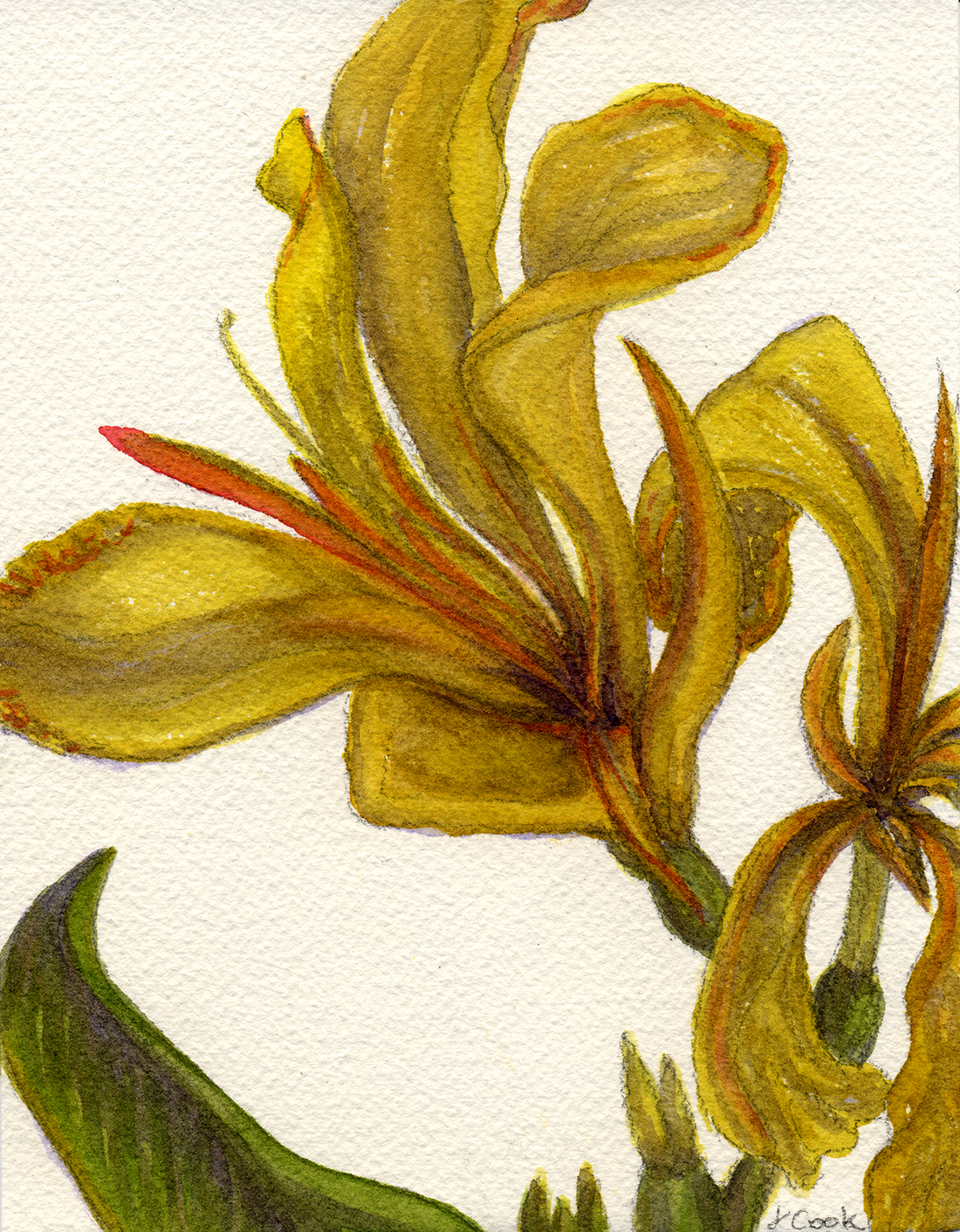 September Canna, watercolour, Jeannine Cook artist