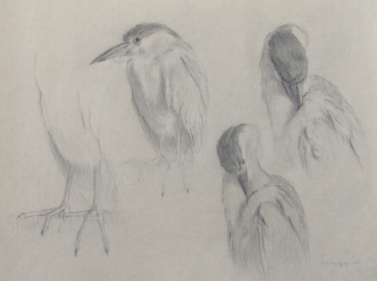 Four studies of a black-crowned night heron, Timothy Mayhew West, (Image courtesy of the Museum of Wildlife Art)