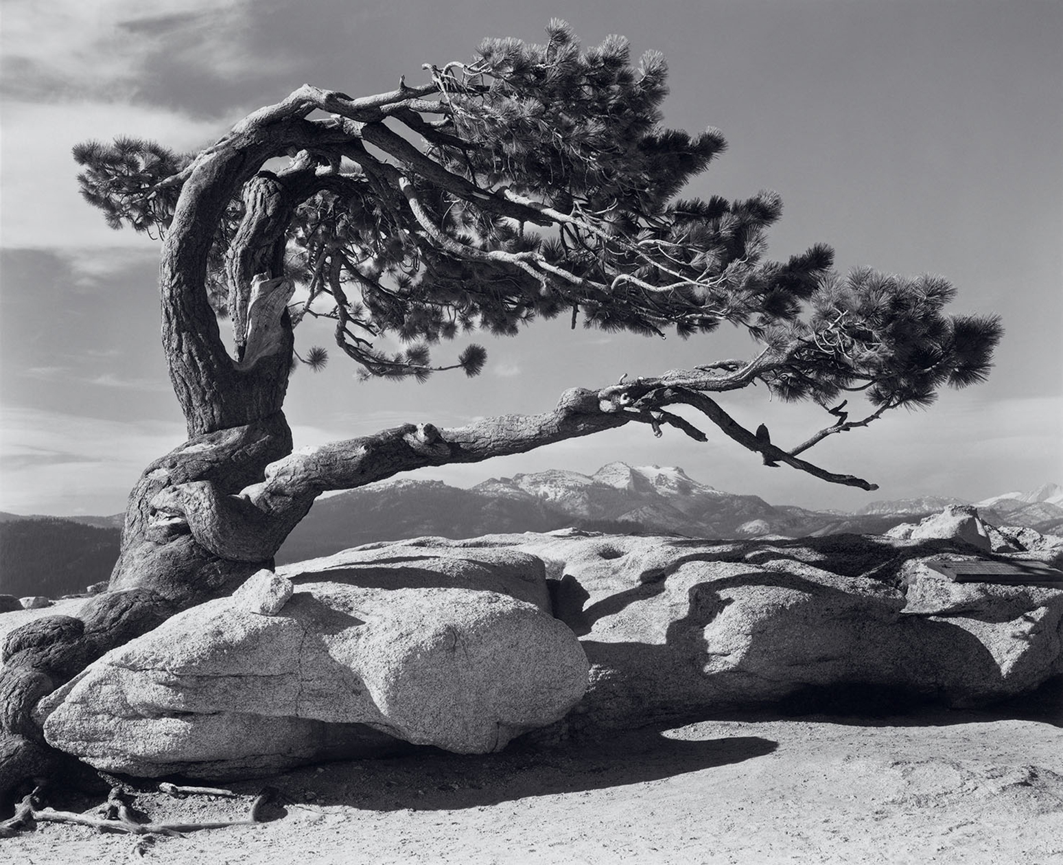 Jeffrey Pine, Ansel Adams photographer (Image courtesy of anseladams.com