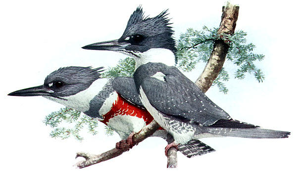 Belted Kingfisher Megaceryle Alcyon by Louis Agassiz Fuertes