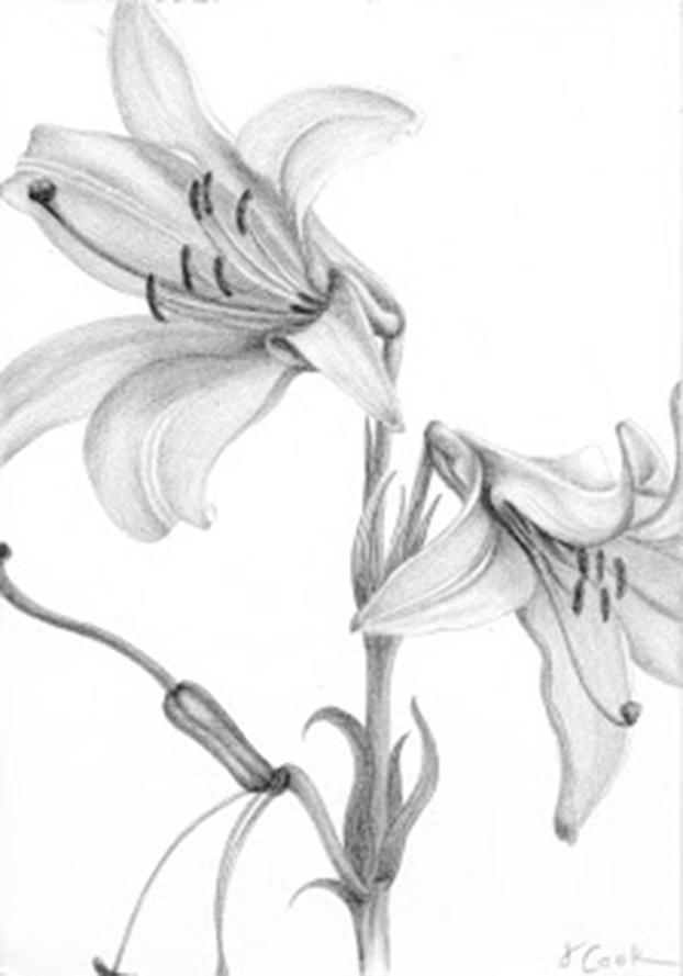 Lilium candidium - silverpoint, Jeannine Cook artist