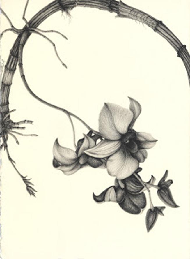 Dendrobium Delight, graphite, Jeannine Cook artist