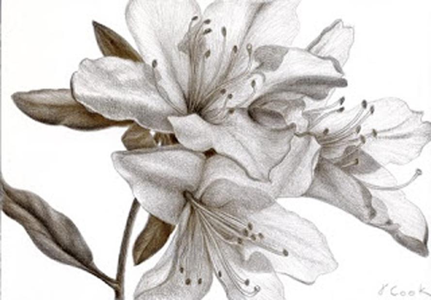 Azalea trio, silverpoint, Jeanninie Cook artist