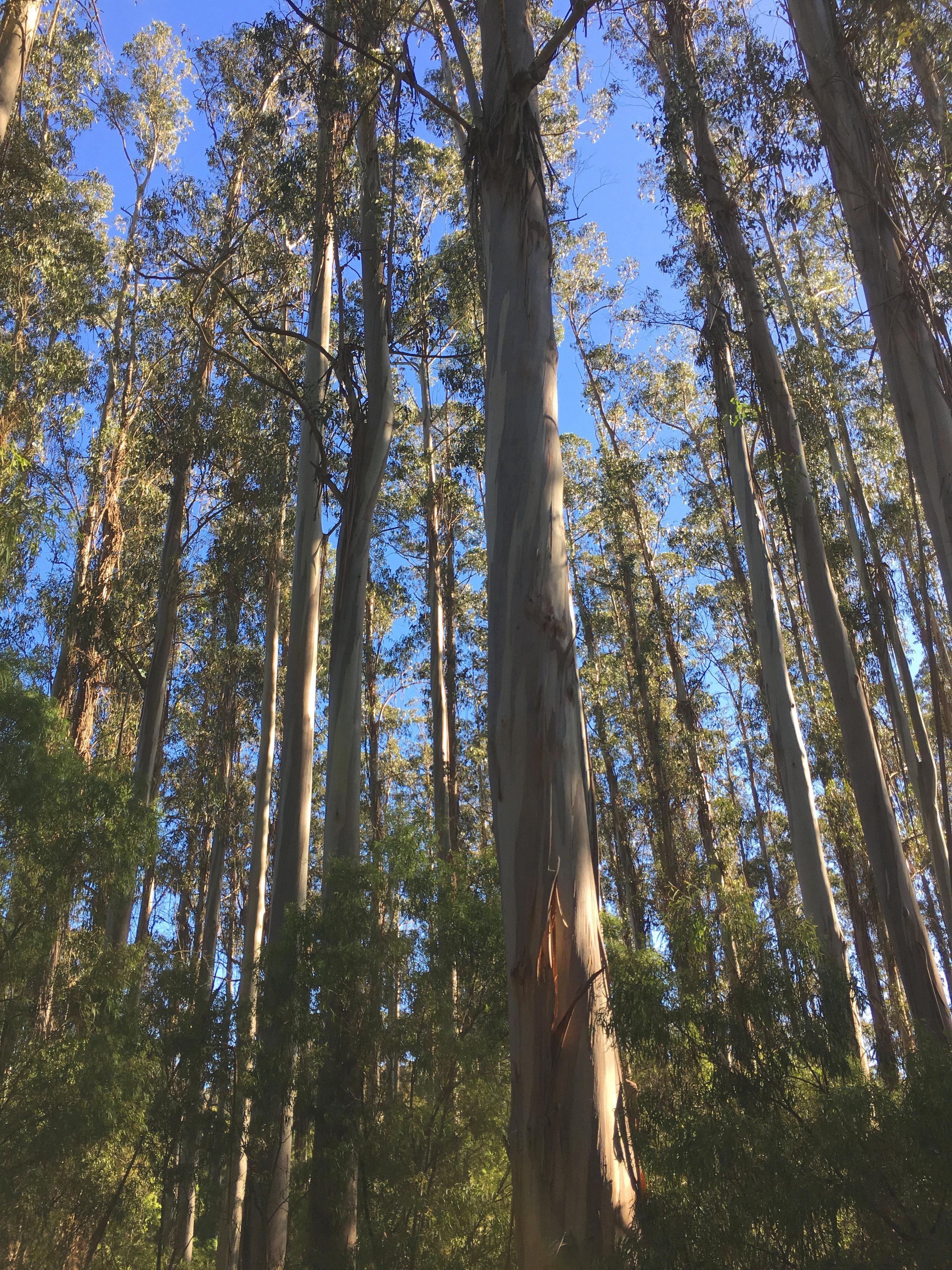 Karri trees (Eucalyptus diversicolor) in the Boranup Forest, near Margaret River, Western Australia, (photograph J. Cook)