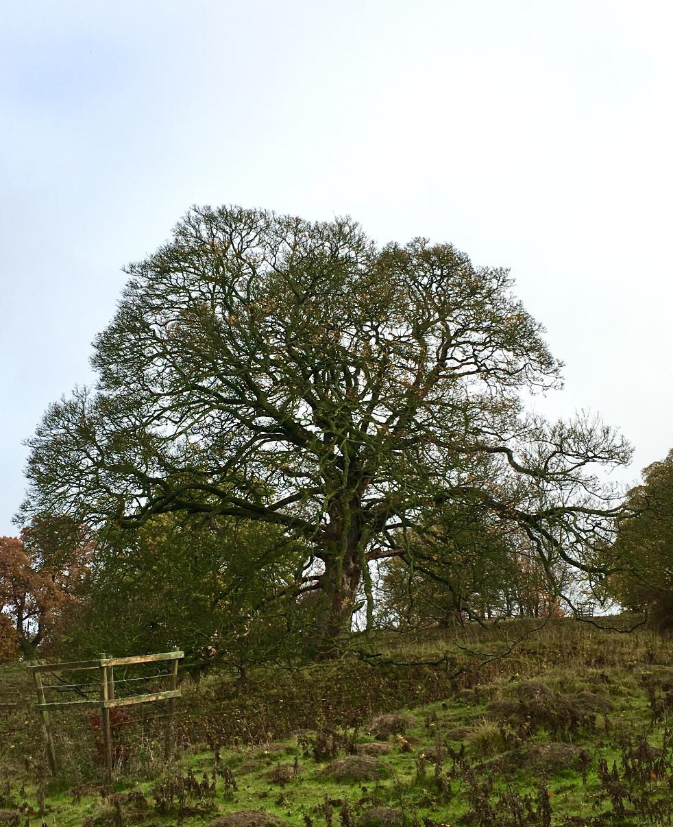 The typical silhouette of a mature oak tree, Haddon Hall (photograph J. Cook)