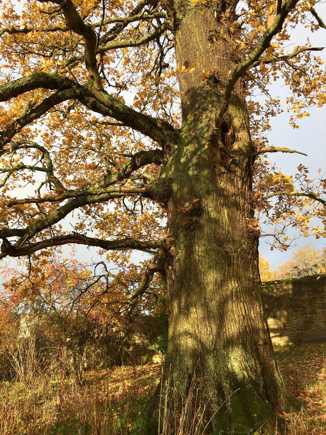 An ancient special oak at Haddon Hall, who lent me her leaves to draw (photograph J. Cook)