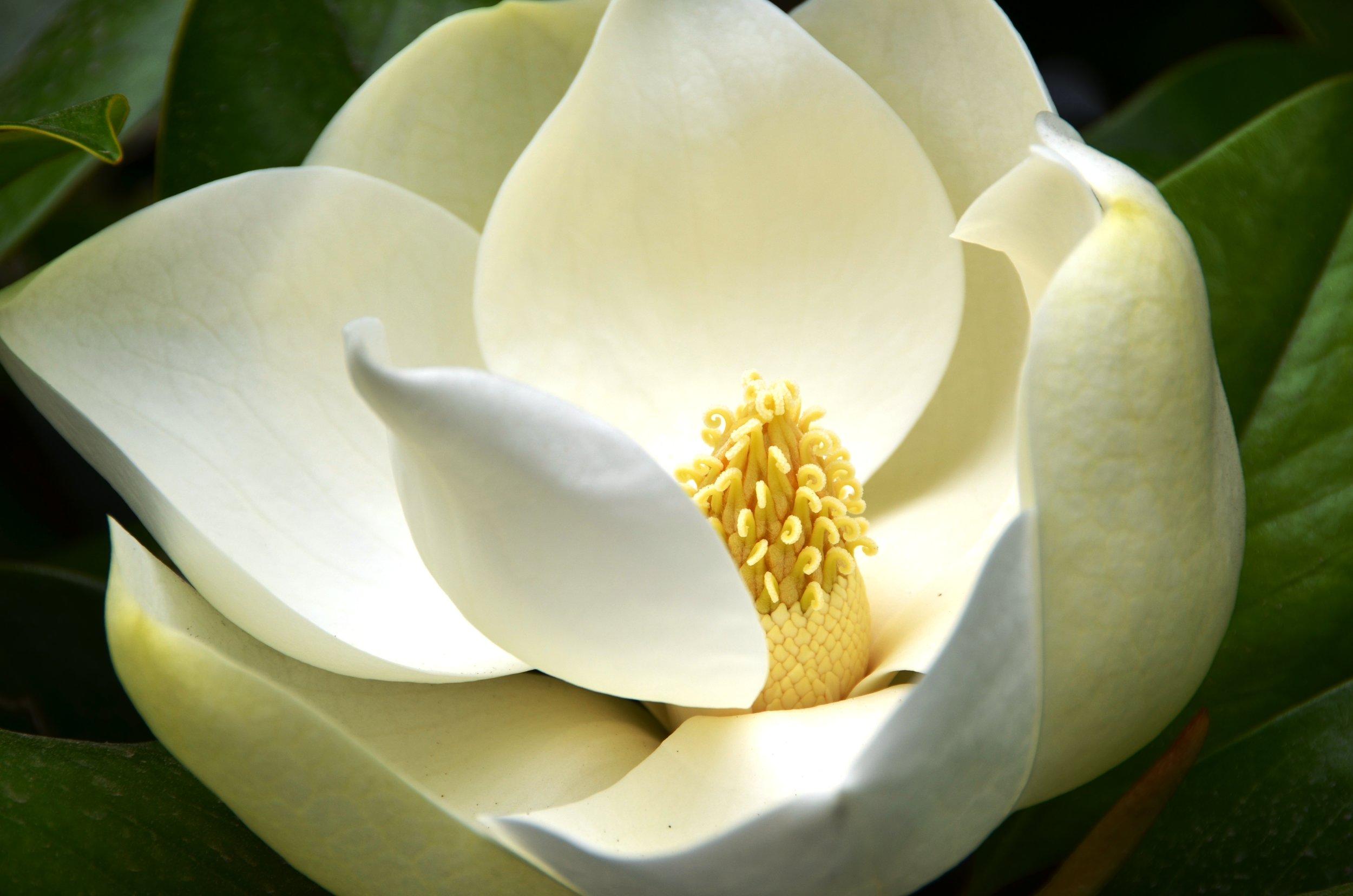 Magnolia grandiflora - so sculptural (Image courtesy of Wikipedia)
