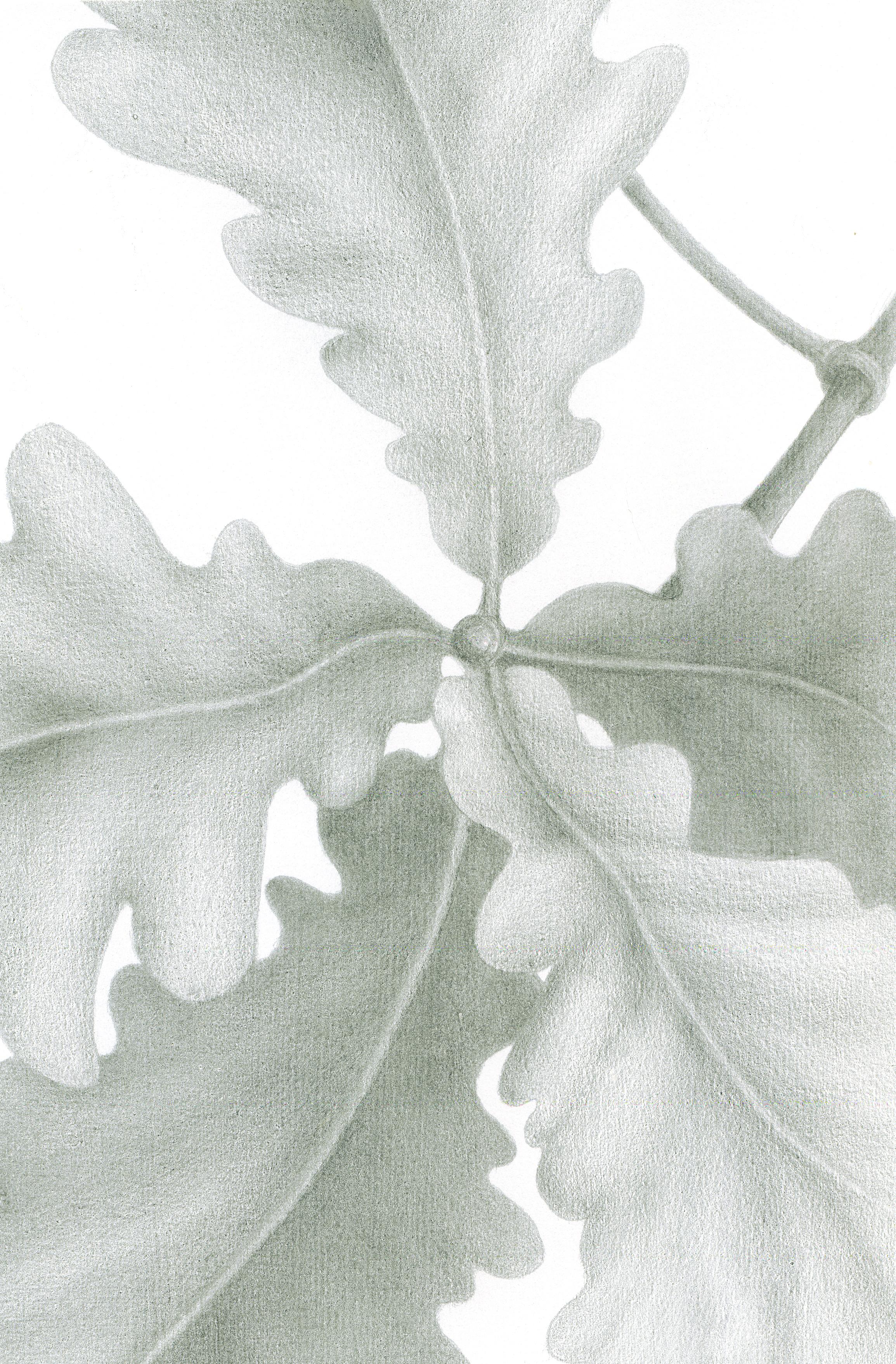 Oak Leaves, silverpoint, Jeannine Cook artist