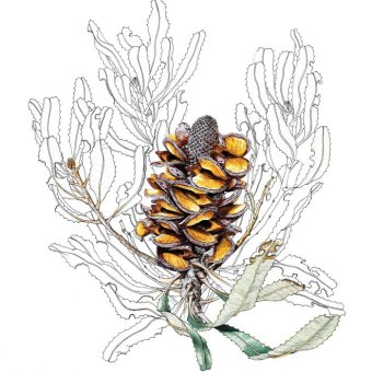 Banksia menziesii  follicles split open and the seeds have flown, 1992, watercolour, pencil and gouache on hot-pressed Arches paper, Philippa Nikulinsky artist