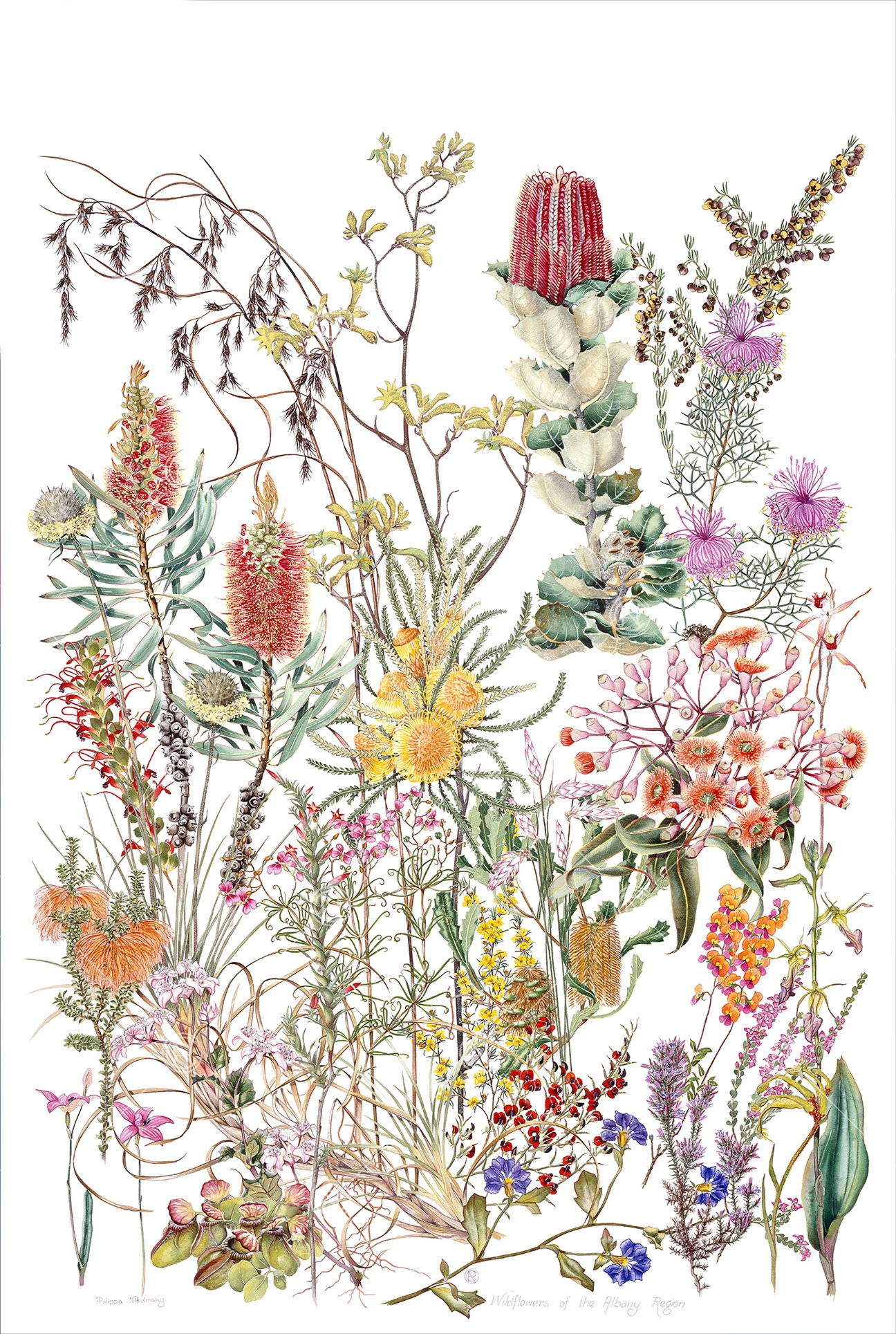 Wildflowers of the Albany Region, watercolour, pencil, gouache on hot-pressed Arches paper, 1990, Philippa Nikulinsky artist