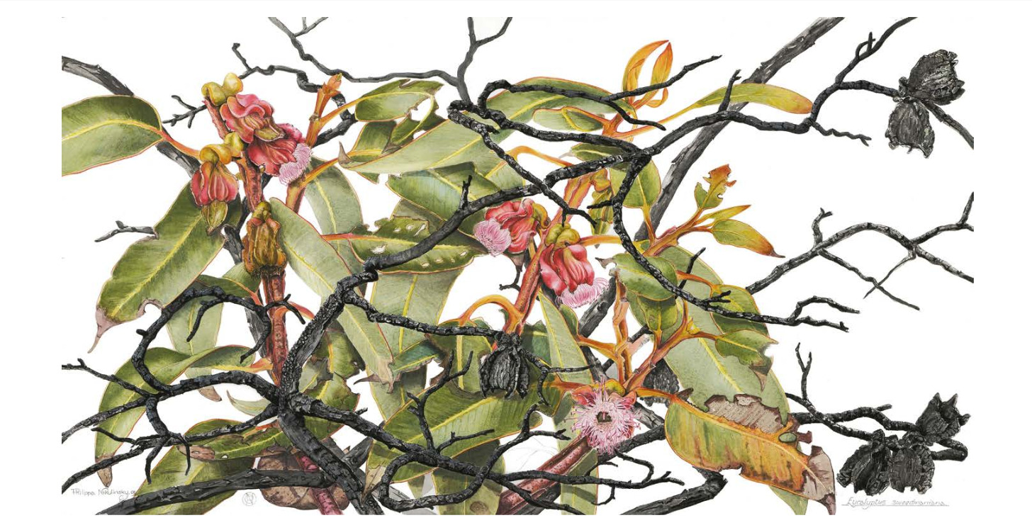 Eucalyptus sweedmaniana,  watercolour and pencil on hot-pressed Arches paper, 2011, Philippa Nikulinsky artist