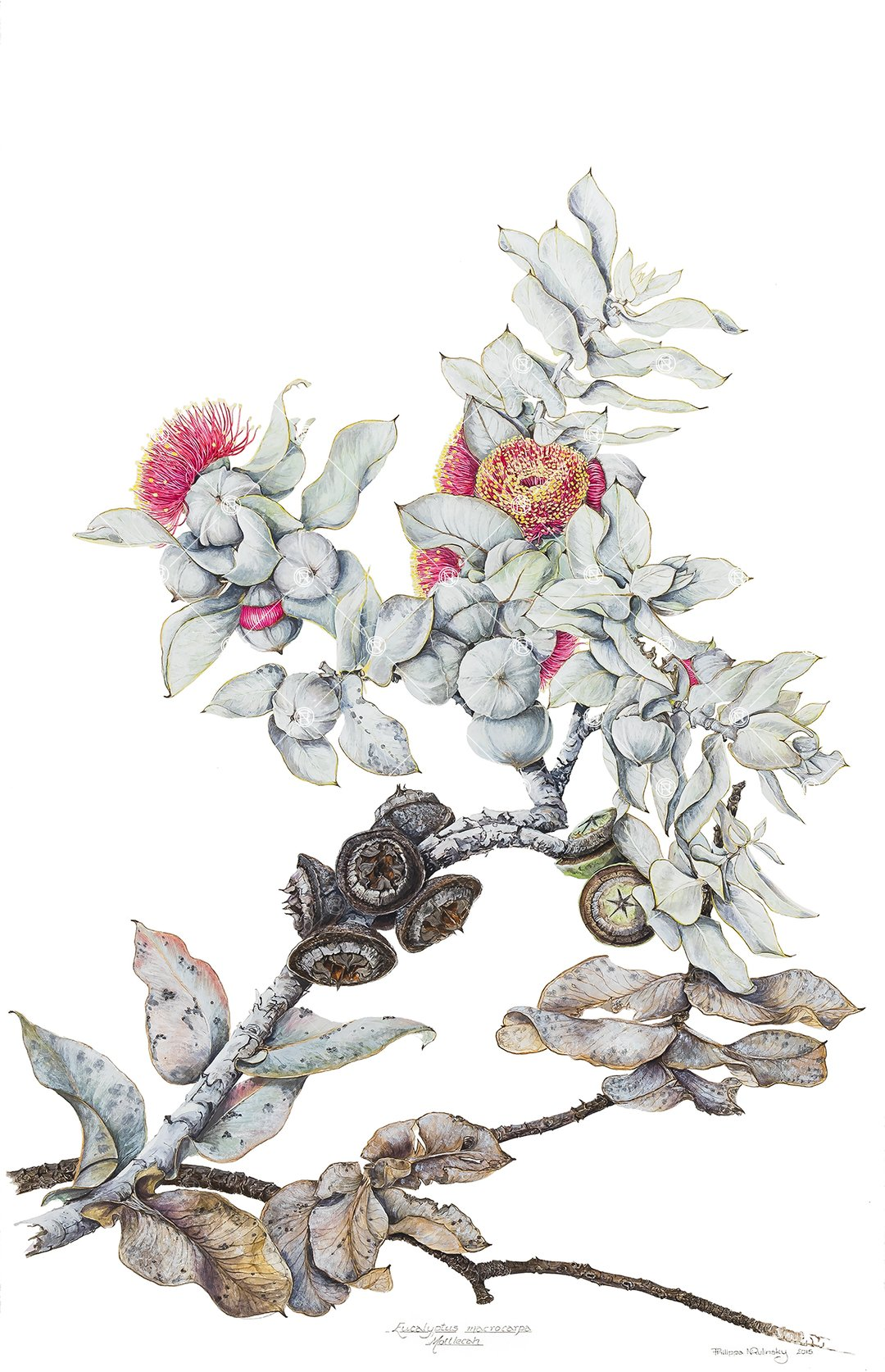 Eucalyptus macrocarpa,  watercolour, pencil, gouache on hot-pressed Arches paper, 2015, Philippa Nikulinsky artist