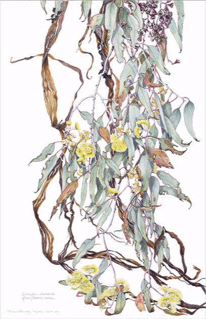 Eucalyptus woodwardii (detail), 2016 – 2017, watercolour, pencil and gouache on hot-pressed Arches paper, Philippa Nikulinsky artist