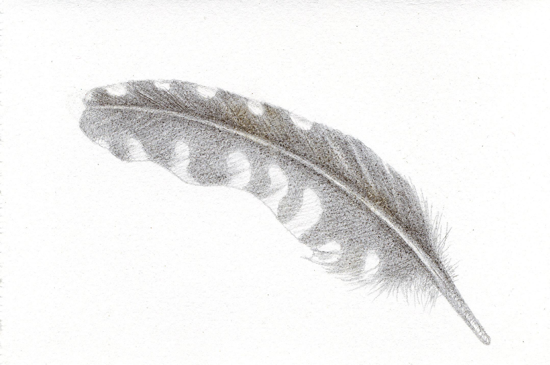 "Plaisir de Plumes,   silverpoint, 3.5 x 5.5"" image, Jeannine Cook artist"