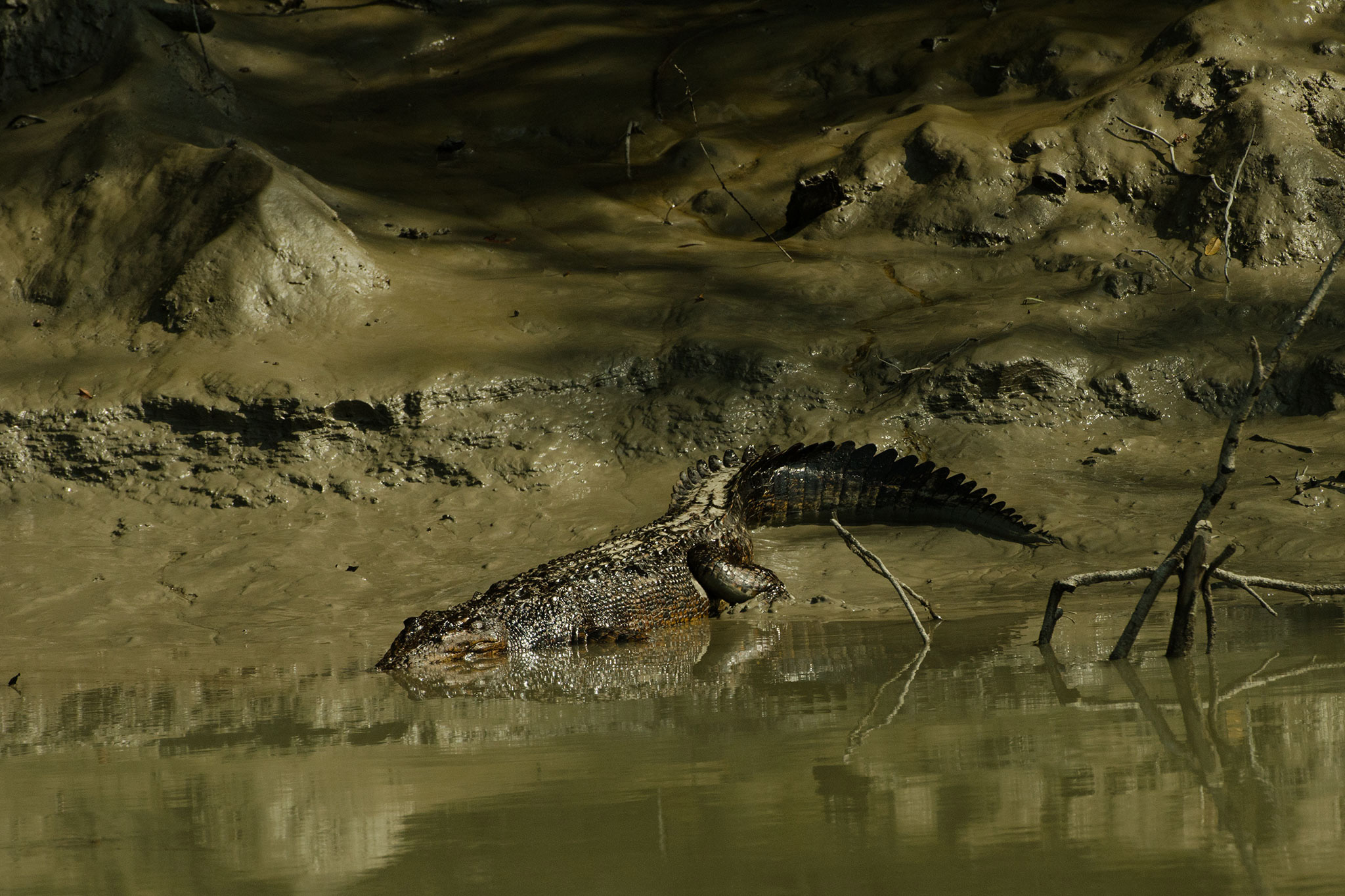 Oil-coated saltwater crocodile, Bangladesh