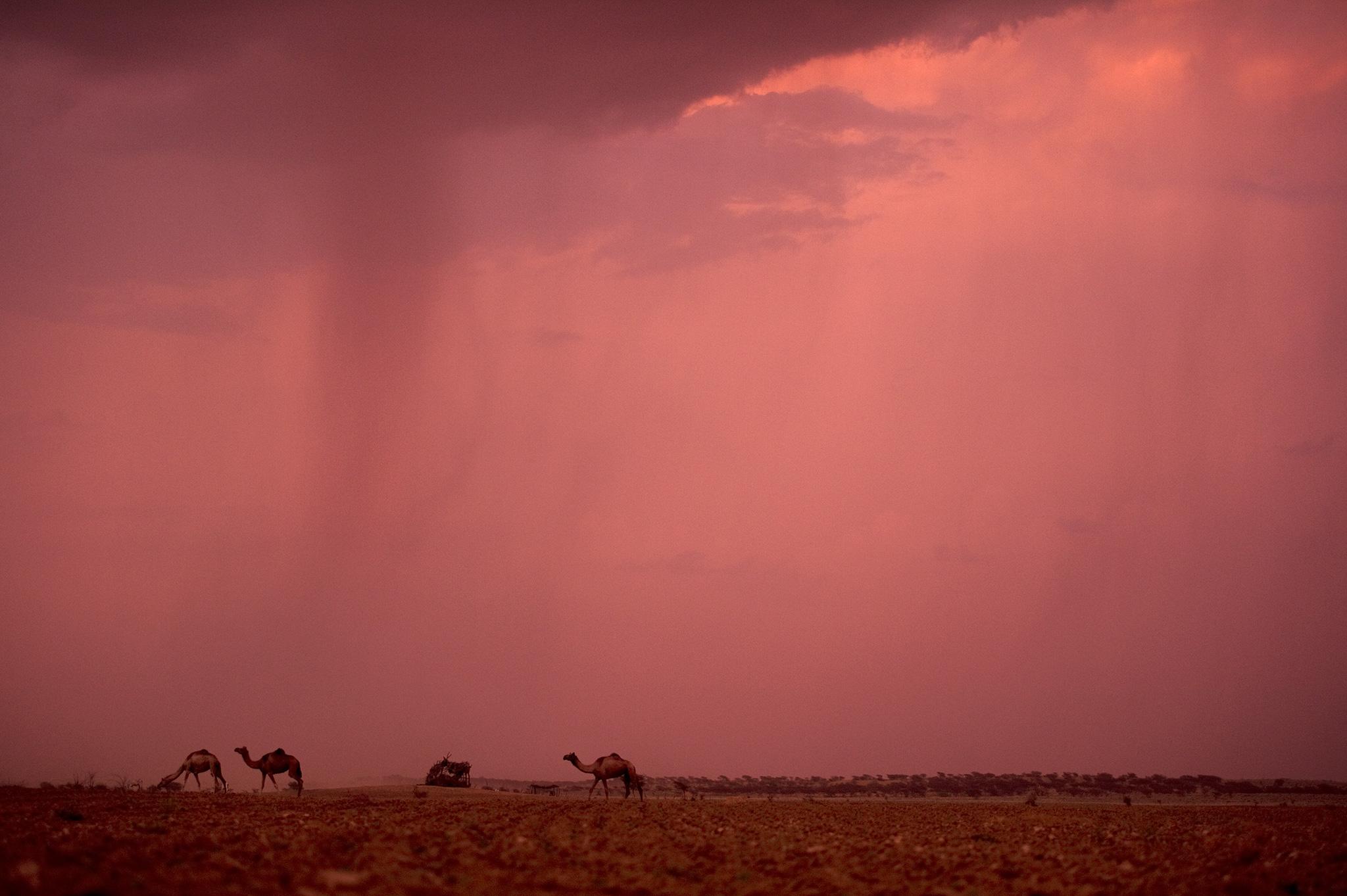 camels_rain.jpg