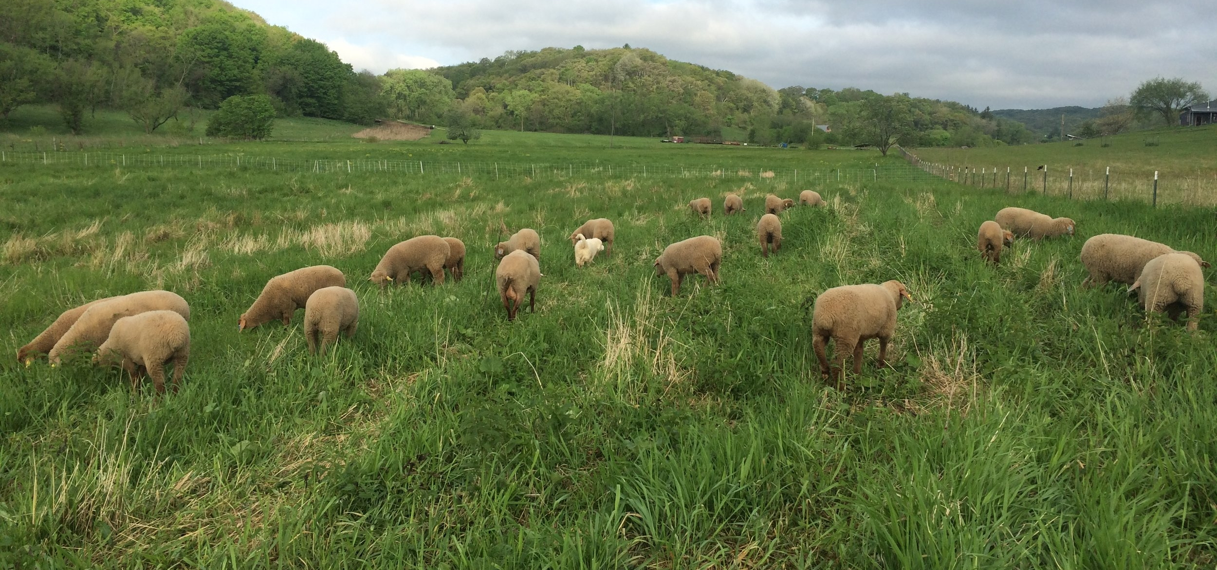 Every lamb is born here, raised here, grass fed & grass finished....with love.