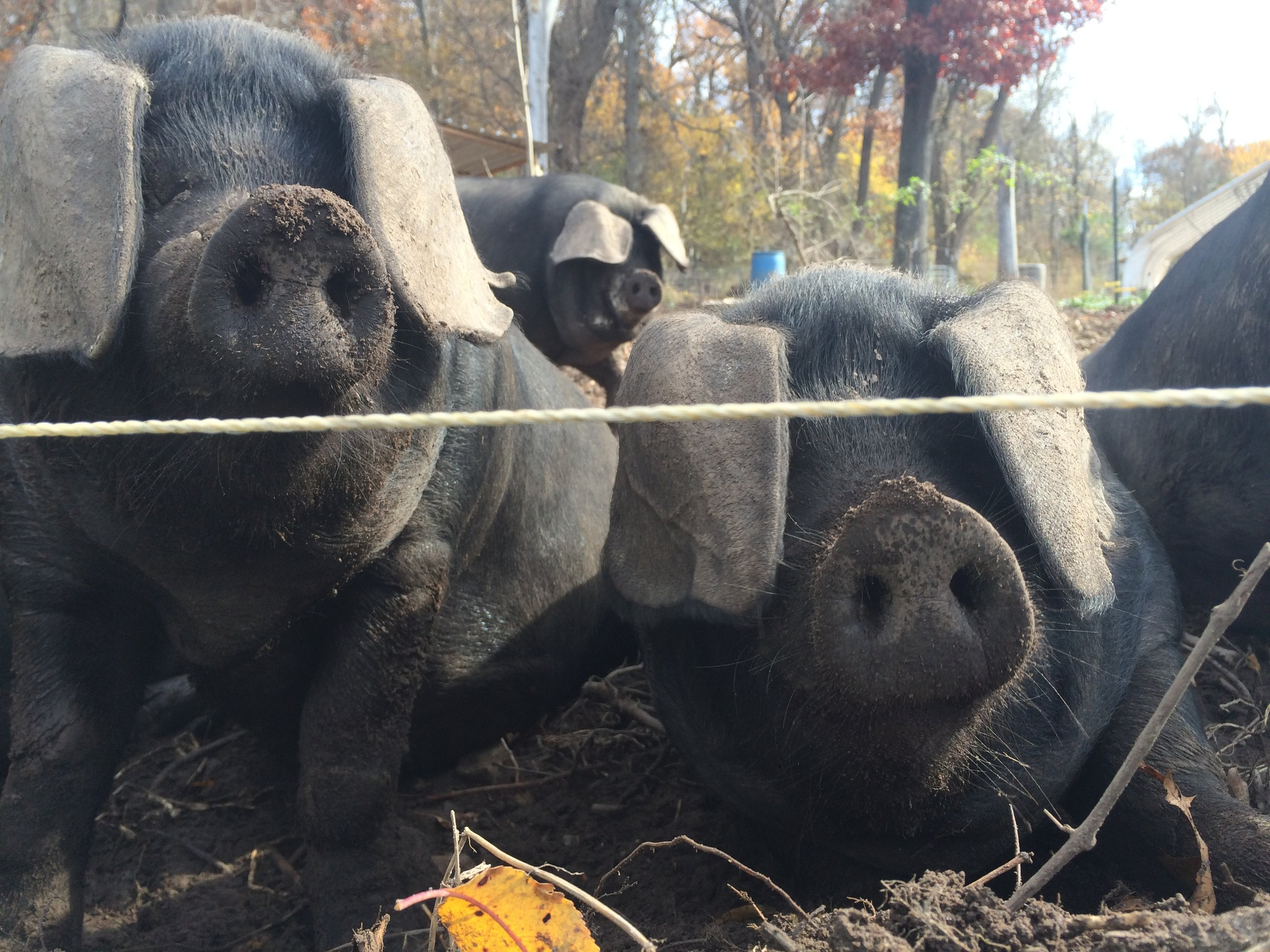 Hogs_lookingover_electric fence