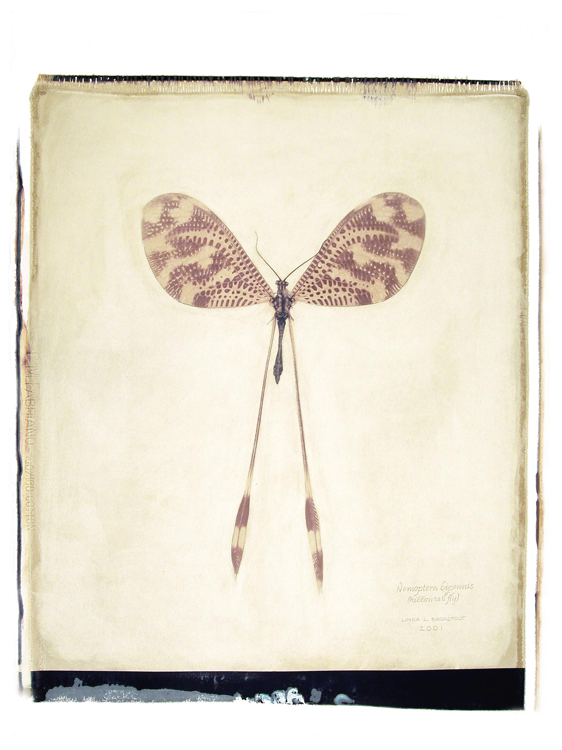 sig5_1-109 Nemoptera bipennis copy 2.jpg