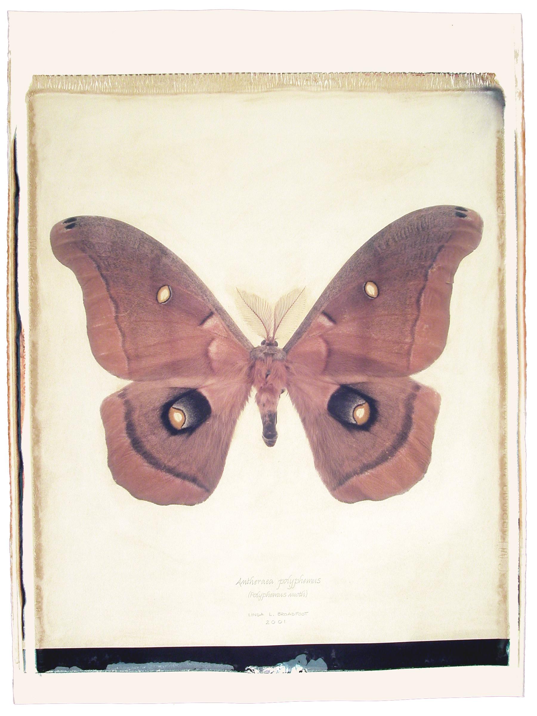 Antheraea polyphemus  (Polyphemus Moth), 2001
