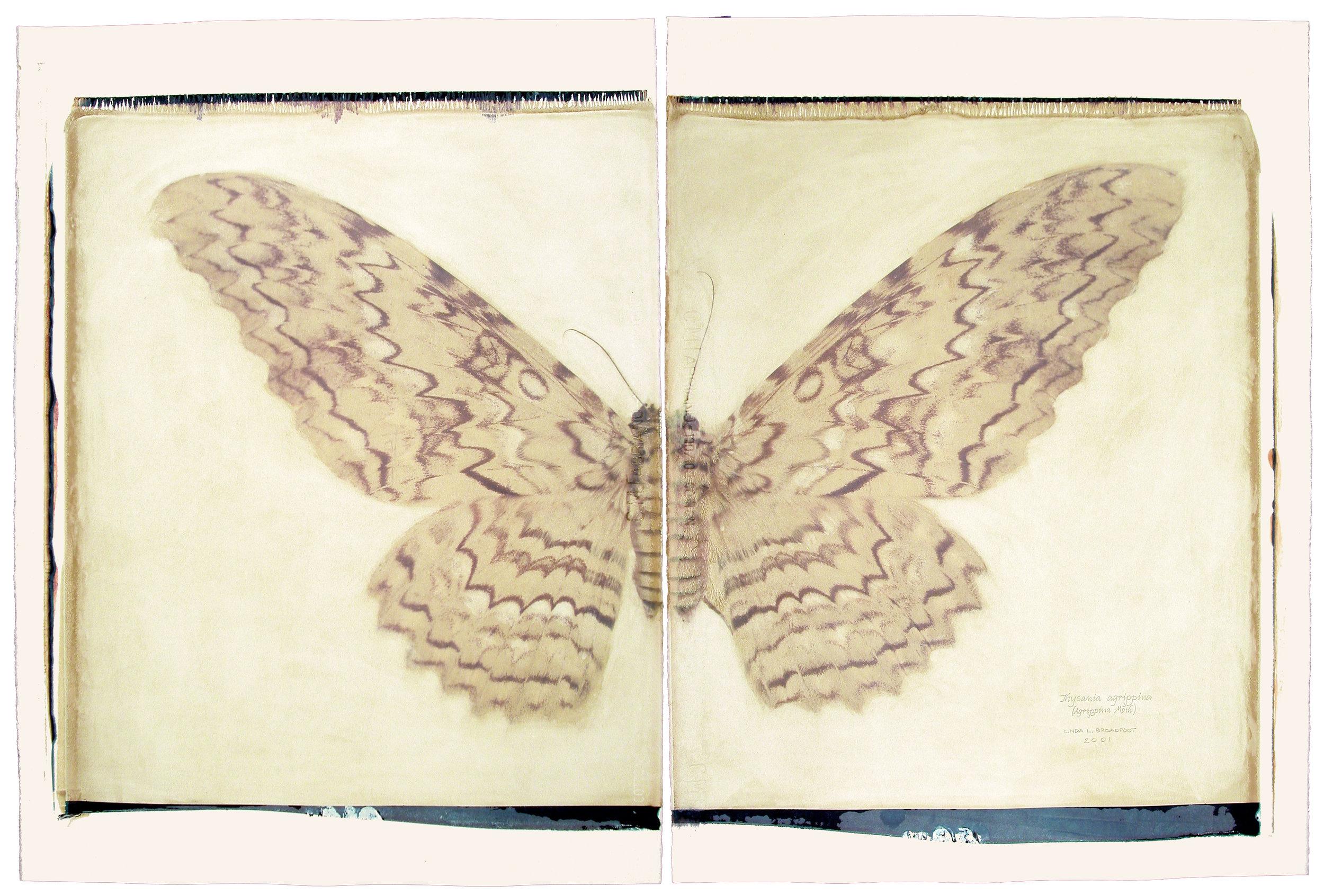 Thysania agrippina  (Agrippina Moth), 2001