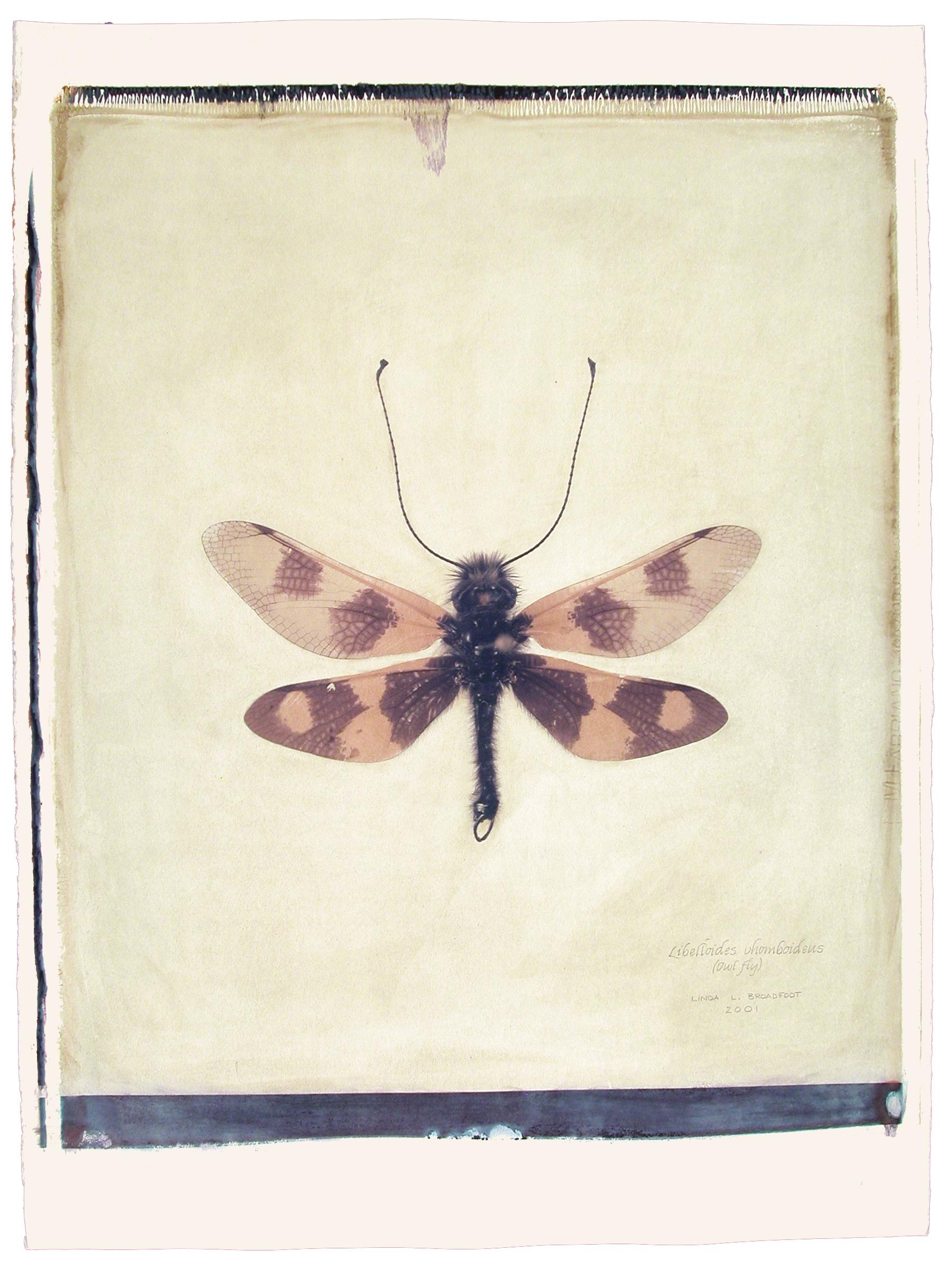 Libelloides vhomboideus  (Owl Fly),2001